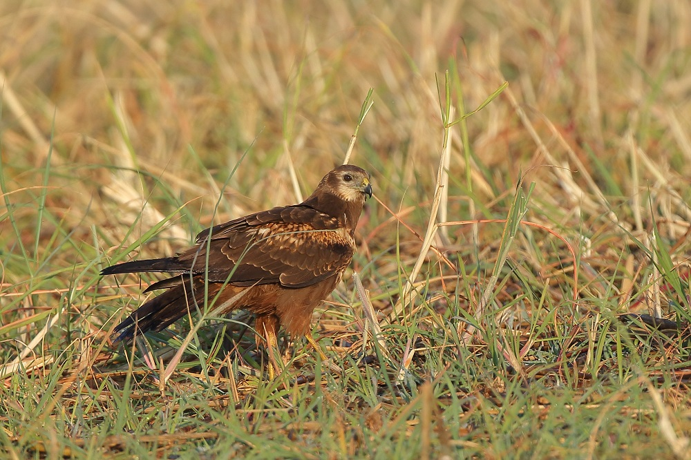 African March Harrier